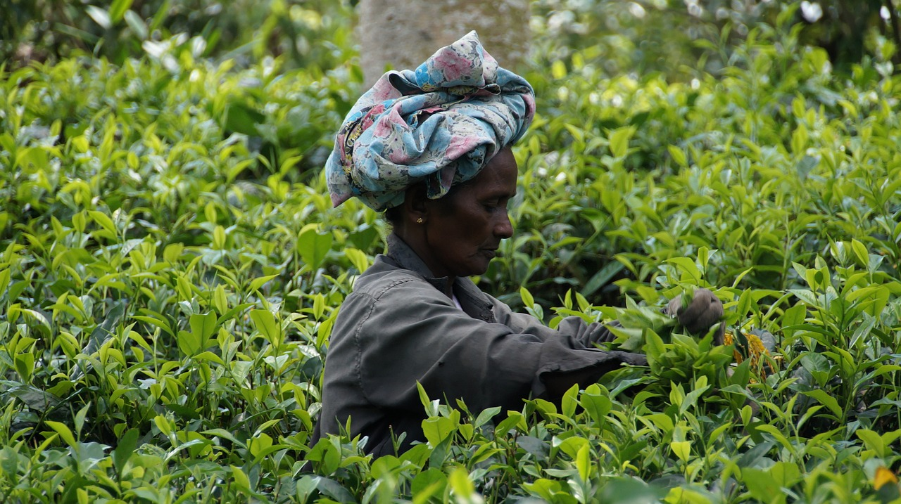 A worker on a tea plantation