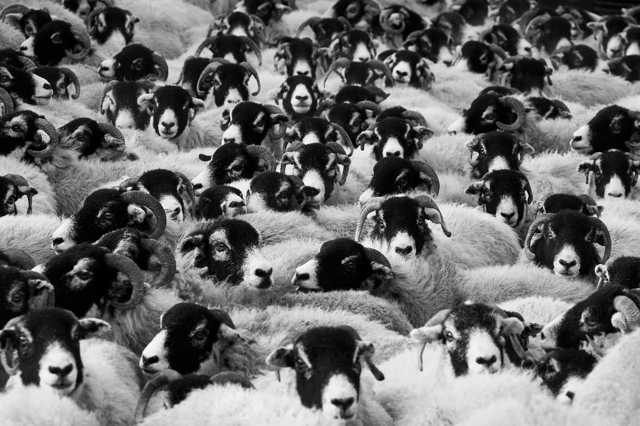 A crowd of sheep